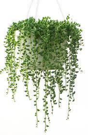 string of pearls plant -