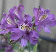 Alstroemeria purple
