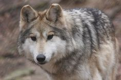 Mexican gray wolf (lobo) photo credit: Endangered Wolf Center.