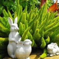 The foxtail fern is an evergreen drought resistant plant that needs little care and looks bright green all year long. It is also known as Asparagus Meyeri, Asparagus fern or asparagus densiflorus 'myers'.