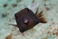 kofferfisch - Google-Suche