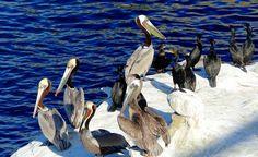 Pelican Perch (birds ). Photo by GVIslander