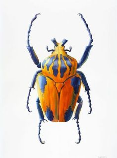 Escarabajo grande de Goliath - insecto