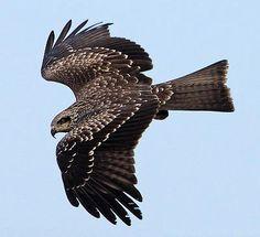 black kite birds - Google Search
