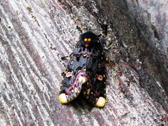 By Rekha Shahane  Lily Moth ( Politela gloriosae ) At Hiranadani Garden Pawai ( Mumbai )
