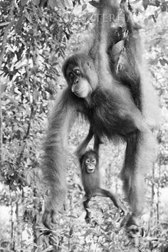 Baby Orangutan and Mom Photo (Black and White) from Baby Animal Prints by Suzi