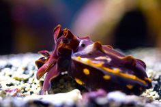 Flamboyant Cuttlefish at Califronia Academy of Science by Justine via notcot. Thanks to @Elizabeth Silbermann #Marine_Biology #notcot #Flamboyant_Cuttlefish