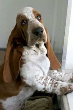 Bassett hound.♥  I'd love to have something else in the house with wrinkles and very short legs.