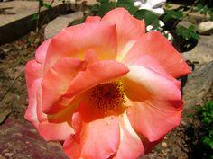 Rose rose 2 #flickr
