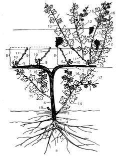 Конкурс «плодовод и виноградарь» Trees And Shrubs, Trees To Plant, Homestead Gardens, Acupressure Points, Small Trees, Grape Vines, Bonsai, House Plants, Garden Landscaping