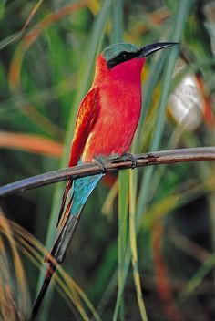 Birds And Animals: Carmine Bee-Eater, South Africa Kinds Of Birds, All Birds, Exotic Birds, Colorful Birds, Pretty Birds, Beautiful Birds, Beautiful Pictures, Aquarium Tropical, South African Birds