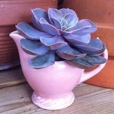 Vintage Pink Creamer  Succulent