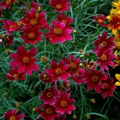 Close up :: Credit: Ball Horticultural
