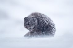 A blue morph arctic fox hunkers down in an Icelandic blizzard in this National Geographic Your Shot Photo of the Day.