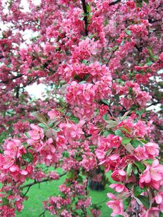 Adams Crabapple: Begins the season with semidouble deep pink blooms. Leaves emerge with a reddish tint but mature to green by summer. The foliage may develop good orange-red fall color. The tree produces to fruits, hang on the tree into winter Trees And Shrubs, Flowering Trees, Dwarf Trees, Colorful Flowers, Beautiful Flowers, Weeping Trees, Fast Growing Trees, How To Attract Birds, Garden Trees