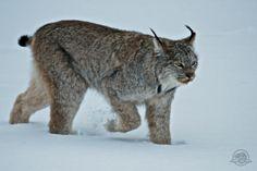 Lynx Mom, Kitten Hanging Around Lake Louise In Banff, Cause Highway Sensation (PHOTOS)