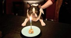 Wish him Happy Birthday! Watch Rex Blowing Out a Candle on his 12th Birthday Cake! ► http://www.bterrier.com/?p=28182 - https://www.facebook.com/bterrierdogs
