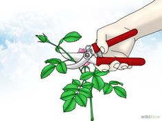 Imagen titulada Grow Miniature Roses Step 9
