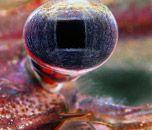 Specimen: Pupil of a Macrobrachium amazonicum (freshwater prawn) (20x) Technique: Stereomicroscopy