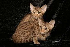 """Catiators Ocicats - the mild """"purrsonality"""" with the wild spots! Big Cats, Cool Cats, Exotic Cat Breeds, Domestic Cat Breeds, Purebred Cats, Ocicat, American Shorthair, Cattery, Cat Photography"""
