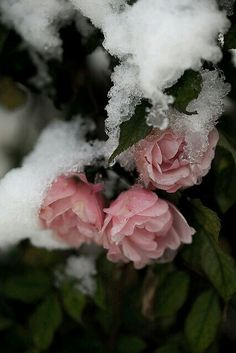Like a rose under the April snow that is so beautiful! Pretty In Pink, Beautiful Flowers, Pretty Roses, Snow Rose, Pink Snow, Snow Flower, Rosa Rose, Winter Beauty, Pink Christmas
