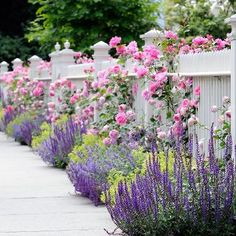 Roses and salvia along a white fence - just beautiful.
