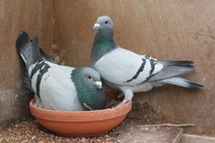 Pigeon Breeding Techniques: Line-breeding, Crossing and Inbreeding Pigeon Nest, Pigeon Bird, Wood Pigeon, High Flying Pigeons, Ara Bleu, Pigeon Loft Design, Cute Pigeon, Racing Pigeon Lofts, Pigeon Pictures