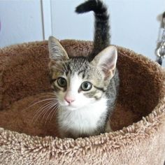 Meet Penny a Petfinder adoptable Tabby - Grey Cat | Fowler, CA | Hey my name is Penny!!! I am a loving and playful 4 month old kitten!!! I need a home... could that...