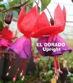 Fuchsias El Dorado