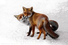 """""""I know of no animal that shows as much love and affections as foxes do. That could be because I know no animal, like I know foxes, but that's not the point here. The point is….love. Foxy love to be more precise.""""Roeselien Raimond"""