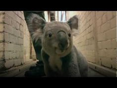 Since koalas sleep most the time, it's not that often you get to see one running, but in this video we see Yabbra from The Edinburgh Zoo pitter-patter down a hallway for about 10 seconds…