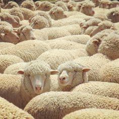 Helle Rambouillet Merino sheep - Duckworth wool is Montana grown, USA spun, knit and sewn...