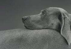 cavetocanvas: William Wegman, Head Over, 1999