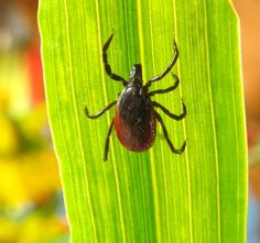 """""""After treating thousands of patients with tick-borne disease in the past 20 years, it appears psychiatric symptoms are more commonly seen when there is a co-infection,"""" explains psychiatrist Robert Bransfield, MD, former president of the International Lyme and Associated Diseases Society (ILADS) and president of the New Jersey Psychiatric Association."""