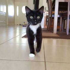 Meet Turtle the 12wk old kitten. :) #kitten #kittensofinstagram #blackandwhitecat #kitty #socute #adorable #petstagram #petsitting #catoftheday #catstagram #wagga #waggawagga #suzspetservices