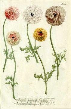 Johann Weinmann - Ranunculus Asiaticus