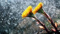 Dandelion, Flowers, Plants, Blog, Dandelions, Blogging, Plant, Taraxacum Officinale, Royal Icing Flowers
