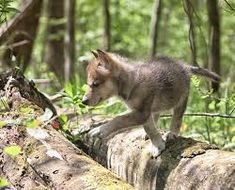 Do you think wolves are cute? Cute Tiger Cubs, Cute Tigers, Cute Animal Videos, Cute Animal Pictures, Wolf Life, Wolf Pup, Cute Animal Drawings Kawaii, Baby Puppies, Animal Faces
