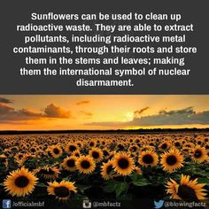 Still looking for references on the use of Sunflowers to clean contaminants from soil, but this is a beautiful message.