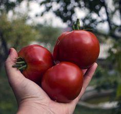 Seminte Rosii de solar – foarte productive Solar, Seeds, Vegetables, Garden, Flowers, Culture, Garten, Lawn And Garden, Vegetable Recipes