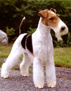 Aljamar & Suelen Terriers - wire haired fox terrier.