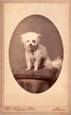 Vintage French Poodle Cabinet Card Photo