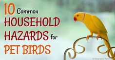 Do you have a pet bird at home? Make sure you take note of these 10 household hazards to keep him safe. http://healthypets.mercola.com/sites/healthypets/archive/2014/11/17/household-hazards-pet-birds.aspx