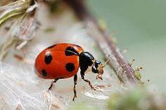 Ladybug: Hippodamia undecimnotata. Zwervend lieveheersbeestje