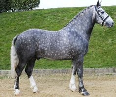 Irish Draught Horse stallion, Silver Wind Twister.