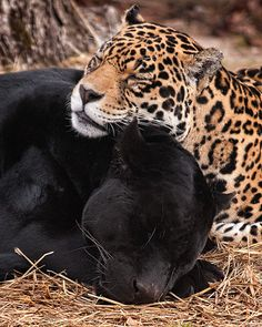 Black panther and jaguar resting