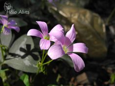 Flor do trevo  Clover flower