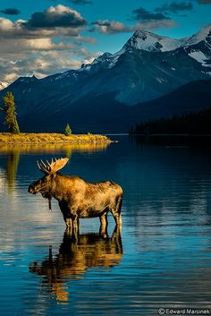 Canadian Rockies: Golden Moose at Maligne Lake