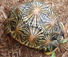 radial design turtle shell