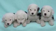 Bobtail Babies!! aka: Old English Sheepdogs
